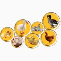 Постоянно закупаем все виды подрощенной птицы для реализации на рынках Винницкой обл