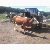 Продам стадо коров на молоко