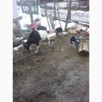 Продам козликів. Народжені 14-19 лютого