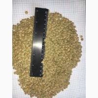 Чечевица зеленая, сочевиця зелена, lentils 2020