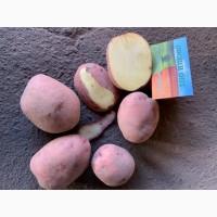Продам семенную и продовольственную Картошку 5+ сорта Джелли, Галла, Бриз и др