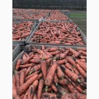 Продам морковь сорт Болевар, 500 тонн, Николаевская обл