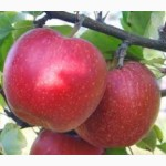 Купить в Украине саженцы яблони джонаголд