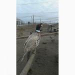 Продам перо, пух фазанов охотничих