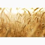 Закупаем Пшеницу 2-6 класс, Ячмень у производителей