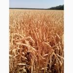 Безостая озимая пшеница Повелия