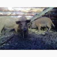 Продам свинок породи мангалиця пухова