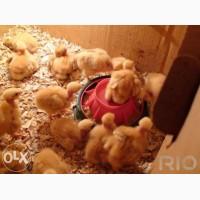Суточные цыплята Голошейки