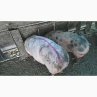 Продам беконых свиней