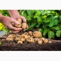 Продажа картофеля оптом в больших количествах, Чернигов и обл