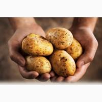 Заключим договор на поставку Картофеля на экспорт