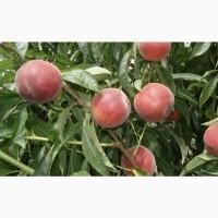 Персики и нектарин ОПТ