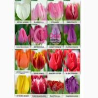 Тюльпаны опт Голландия к 8 марта, 14 февраля