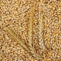 Пшеница фуражная. Куплю оптом. Самовывоз