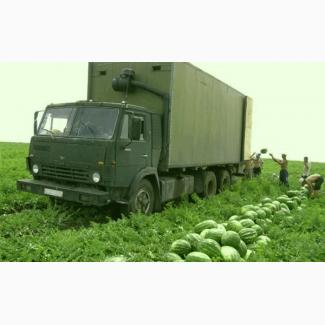 Продам арбуз с поля БАГАРНЫЙ (Не корейский, не поливной, не пленочный)