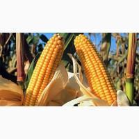 Насіння кукурудзи Вакула