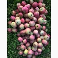 Продам Яблуко сортове та на переробку