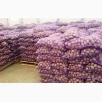 Продажа товарної картоплі