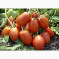 Продаём помидор сорт Сливка номерная оптом от производителя
