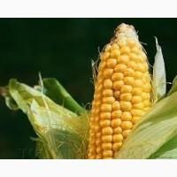 Семена кукурузы П9241/Р9241 AQUAmax Форс Зеа ФАО 360