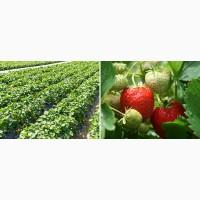 Продам клубнику урожай 2019 года