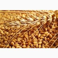 Закупаем пшеницу 2, 3, 4 класс