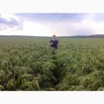 Продам семена проса желтого Белая Альтанка (2р)
