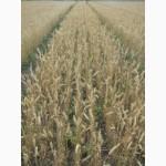 Семена пшеницы озимой - сорт Нота. 1 репродукция