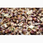 Воздушные семена озимого чеснока продажа
