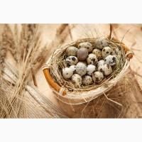 Продам пеиепелині яйця столові