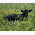 Куплю быков от 100-200 кг (Небольше)