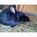 Кролики молодняк 2 мес