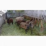 Продамо отару овець романівської породи