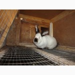 Продам племенное поголовье кролей калифорнийской породы