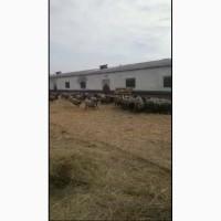 Продам стадо овец 350 голов романовская порода