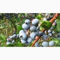 Обращайтесь! Крупная голубика садовая в продаже, Житомирская область