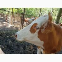 Телки, Телочки племенные, Коровы Симментальской породы 350-400 кг