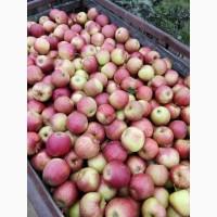 Продам сортовые яблоки