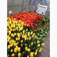 Продам тюльпан Голландия Опт от 100 шт