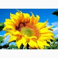 Купую насіння соняшнику по всій Україні