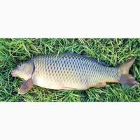Продам речную живую рыбу