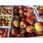 Продам яблука Хоней Крісті