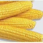 Насіння кукурудзи цукрової Растлер F1