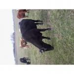 Продам корову,