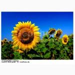 Высокоурожайные засухоустойчивые семена гибридов подсолнечника