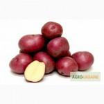 Картопля Ред Леді оптом, вигідно