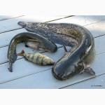 Свежовыловленная речная рыбка (сом, судак)