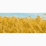 Продам семена озимой пшеницы Брион