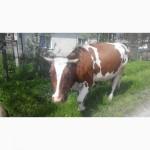 Продам добру корову