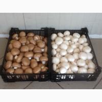 Купим свежие грибы партиями от 2 тонн